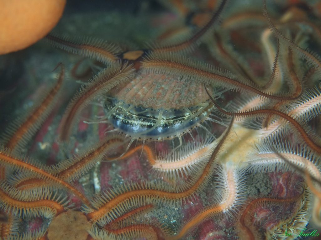 Brittle stars, and a scallop