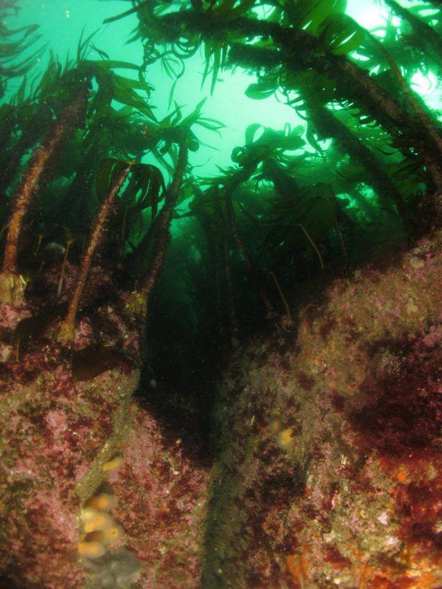 Skerryvore kelp