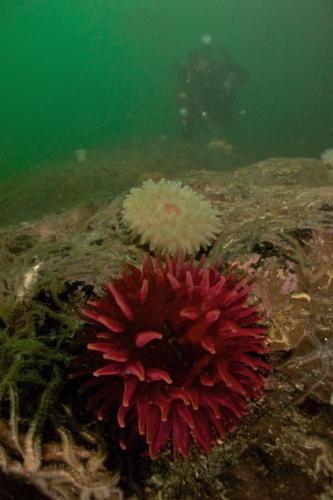 Dahlia anemones